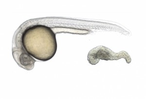 sel-punca-embrio-ikan-zebra-742014