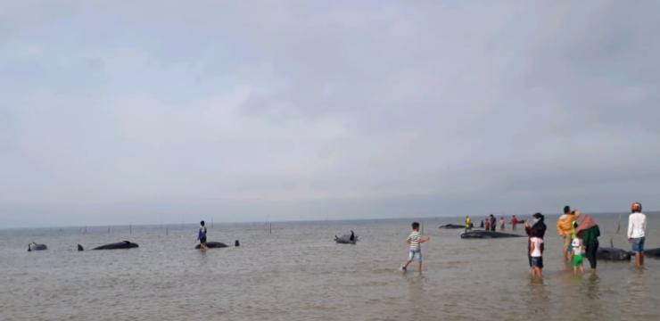 40 ekor Paus Pilot terdampar di Perairan Bangkalan, Madura